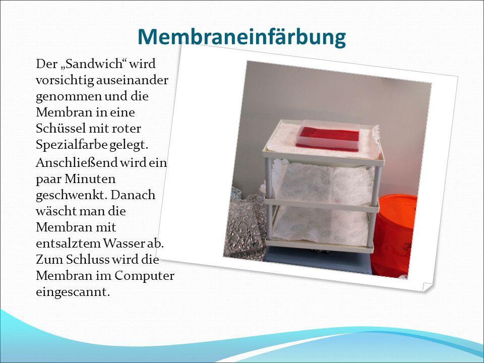 """Membraneinfärbung Der """"Sandwich wird vorsichtig auseinander genommen und die Membran in eine Schüssel mit roter Spezialfarbe gelegt."""