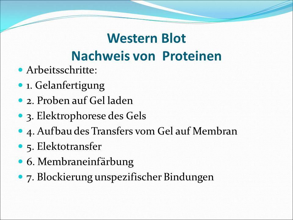 Western Blot Nachweis von Proteinen