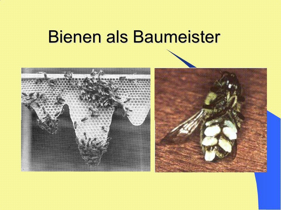 Bienen als Baumeister