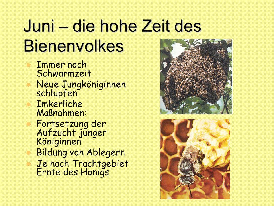 Juni – die hohe Zeit des Bienenvolkes