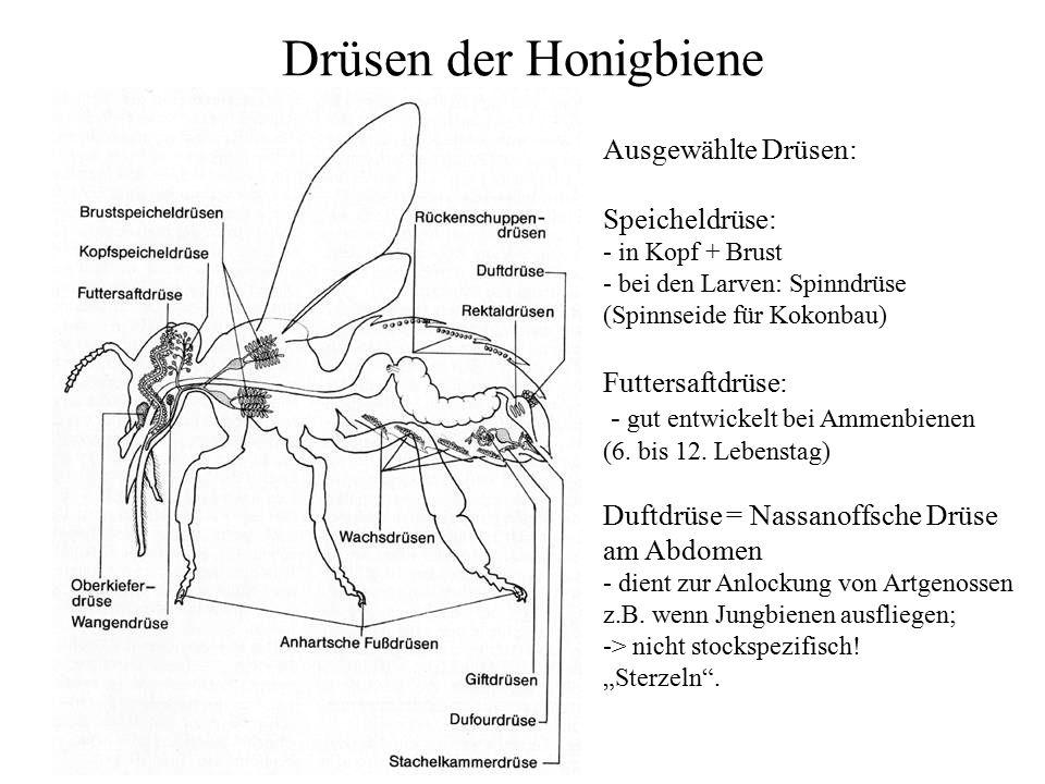 Arbeitsblatt Bienen Grundschule : Arbeitsblatt vorschule honigbiene körperbau verlosung