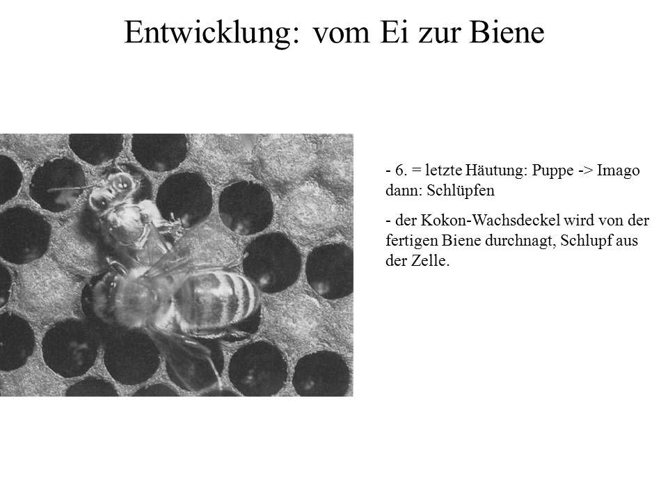 Entwicklung: vom Ei zur Biene