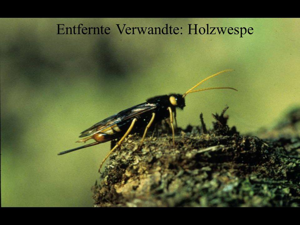 Hymenoptera: Siricidae