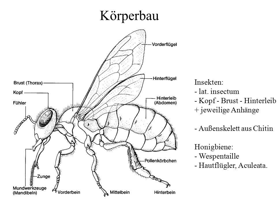 Körperbau Insekten: - lat. insectum - Kopf - Brust - Hinterleib