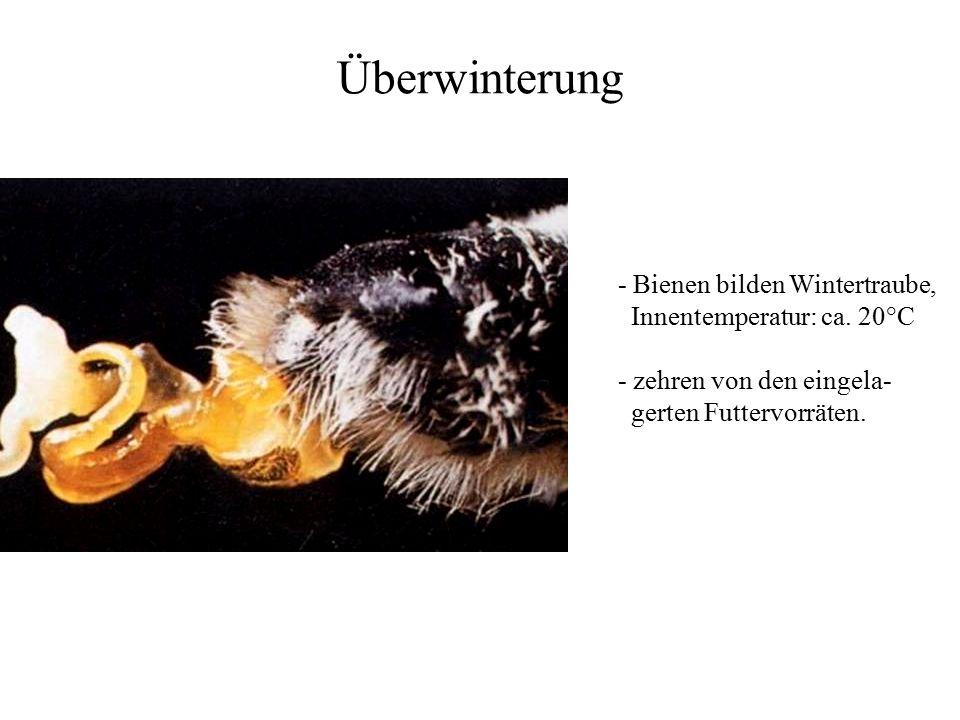 Überwinterung - Bienen bilden Wintertraube, Innentemperatur: ca. 20°C