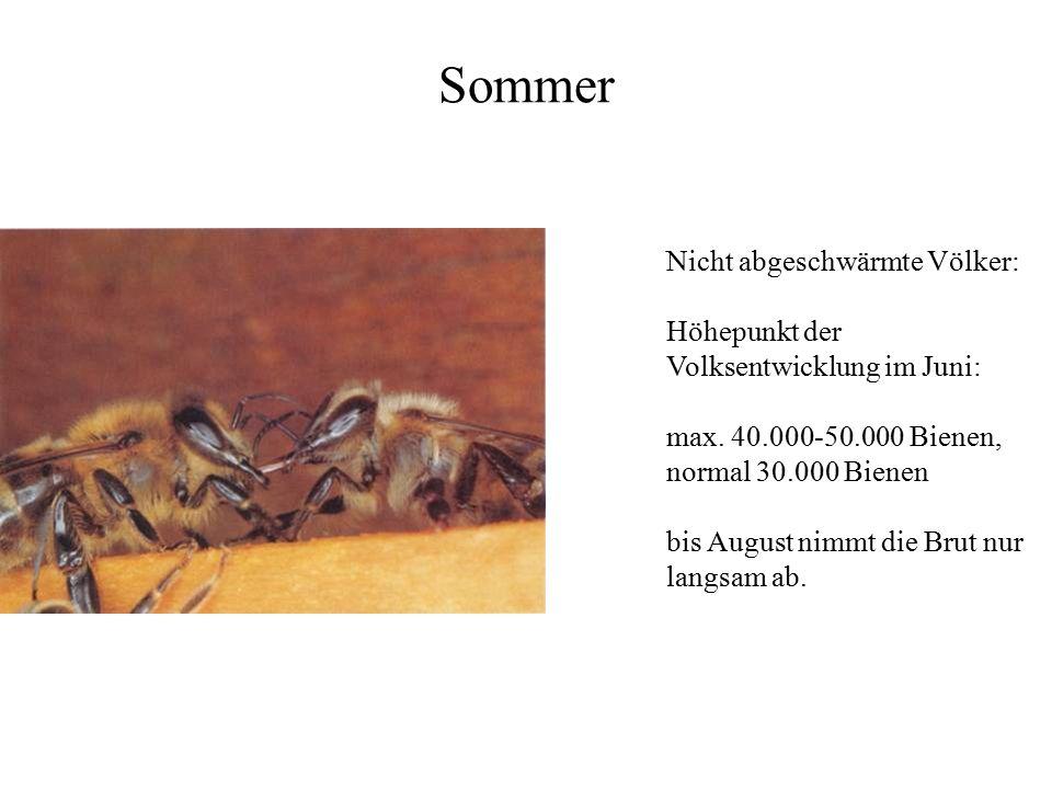 Sommer Nicht abgeschwärmte Völker: