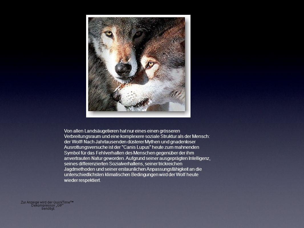 Von allen Landsäugetieren hat nur eines einen grösseren Verbreitungsraum und eine komplexere soziale Struktur als der Mensch: der Wolf.