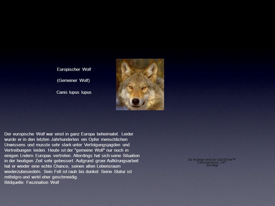 Europischer Wolf Canis lupus lupus (Gemeiner Wolf)
