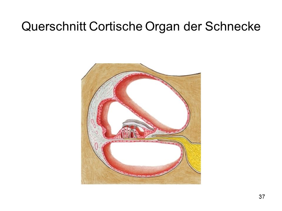 Querschnitt Cortische Organ der Schnecke