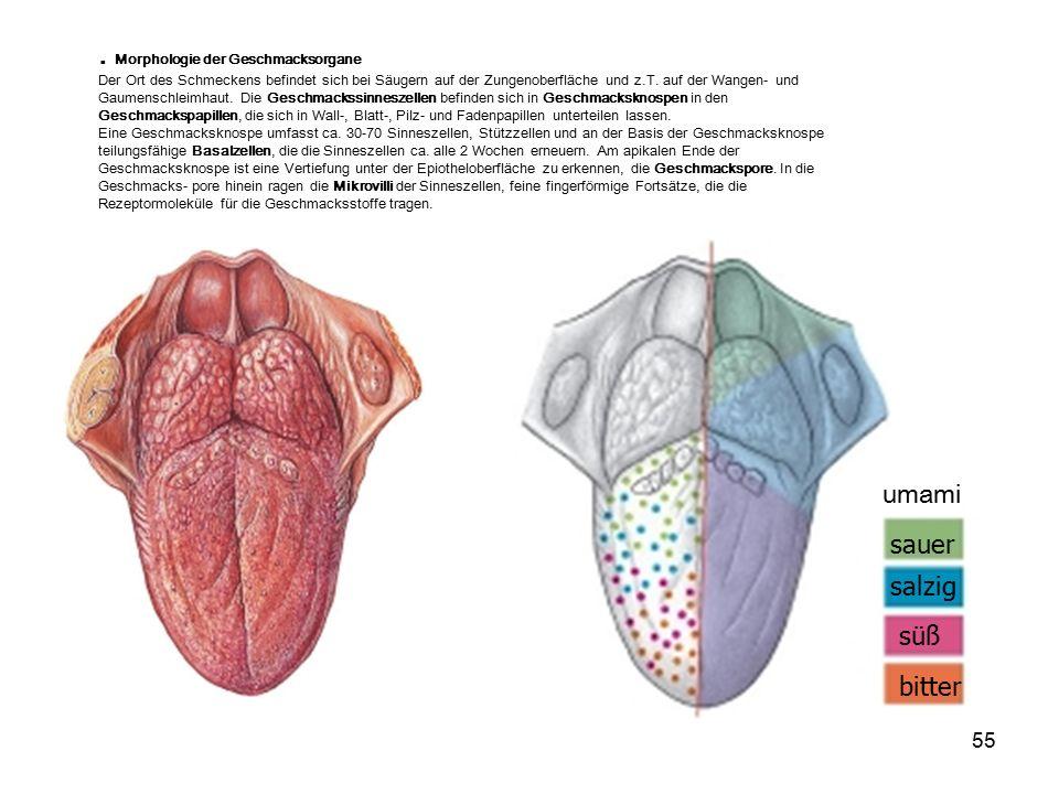 . Morphologie der Geschmacksorgane