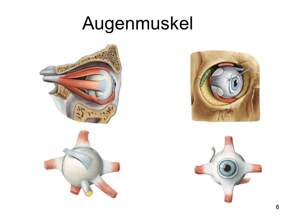 Augenmuskel