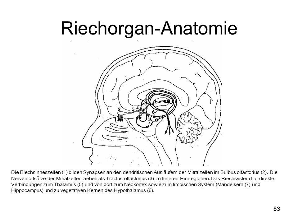 Riechorgan-Anatomie