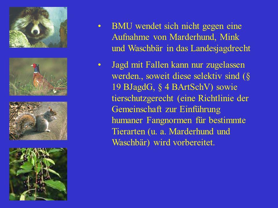 BMU wendet sich nicht gegen eine Aufnahme von Marderhund, Mink und Waschbär in das Landesjagdrecht