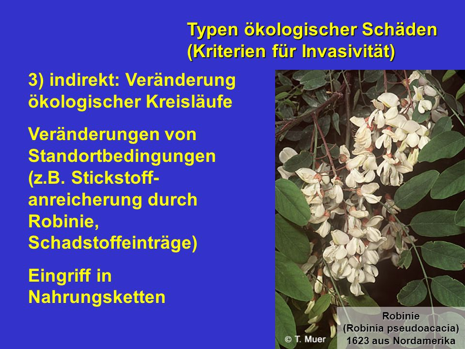 Robinie (Robinia pseudoacacia) 1623 aus Nordamerika