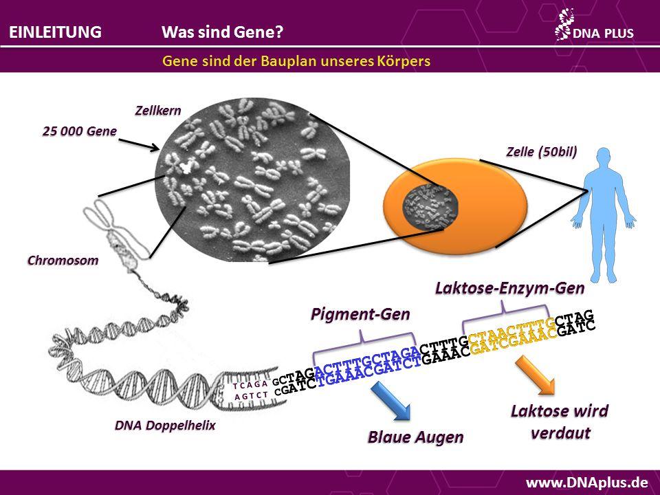 EINLEITUNG Was sind Gene Laktose-Enzym-Gen Pigment-Gen Laktose wird