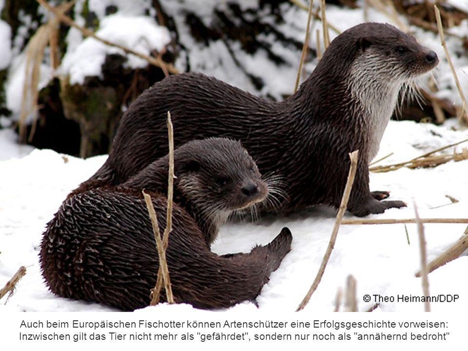 Auch beim Europäischen Fischotter können Artenschützer eine Erfolgsgeschichte vorweisen: