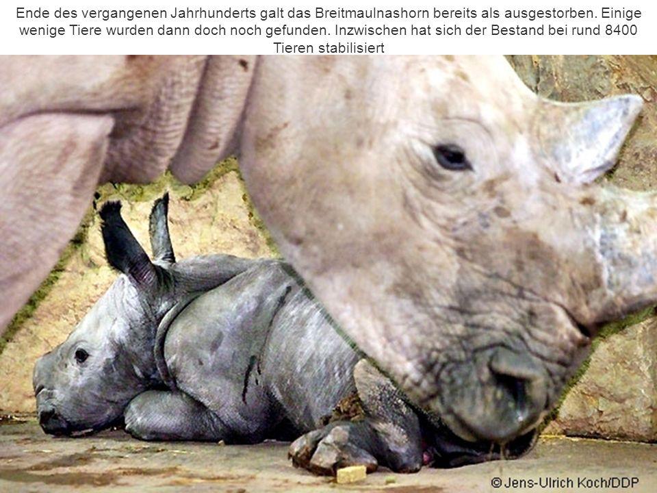 Ende des vergangenen Jahrhunderts galt das Breitmaulnashorn bereits als ausgestorben.