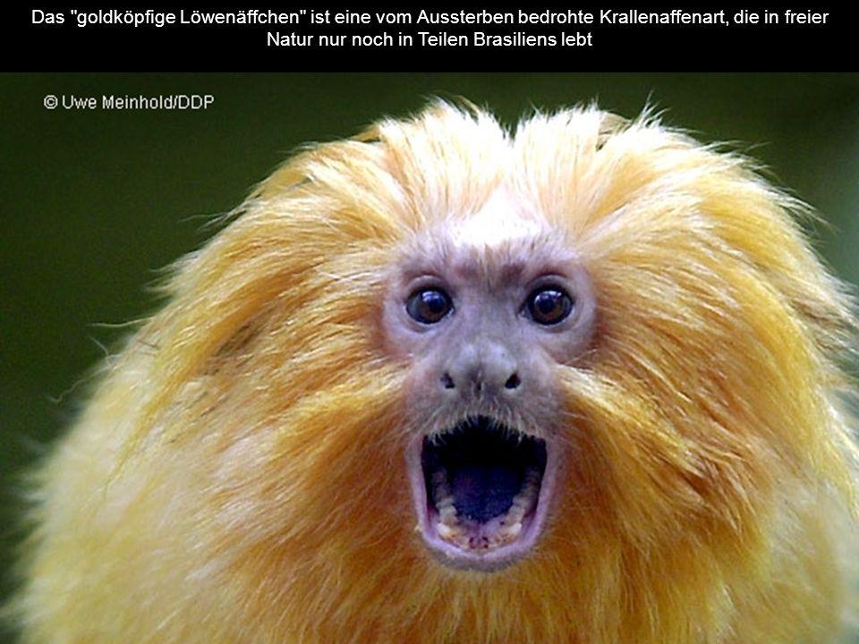 Das goldköpfige Löwenäffchen ist eine vom Aussterben bedrohte Krallenaffenart, die in freier Natur nur noch in Teilen Brasiliens lebt
