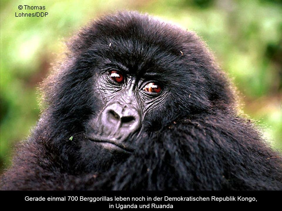 Gerade einmal 700 Berggorillas leben noch in der Demokratischen Republik Kongo,