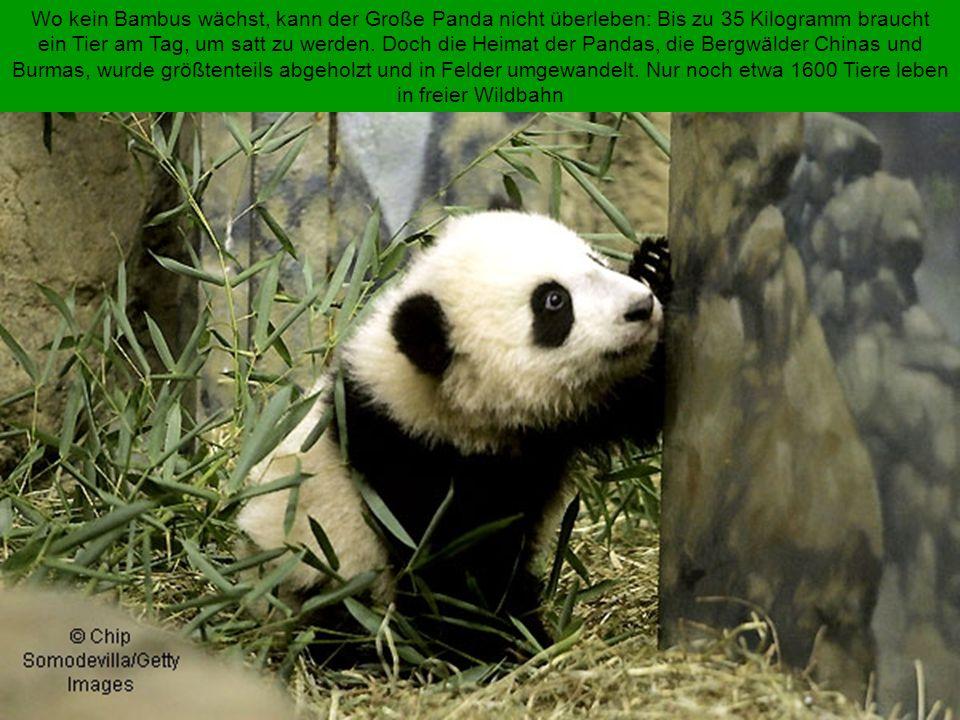 Wo kein Bambus wächst, kann der Große Panda nicht überleben: Bis zu 35 Kilogramm braucht