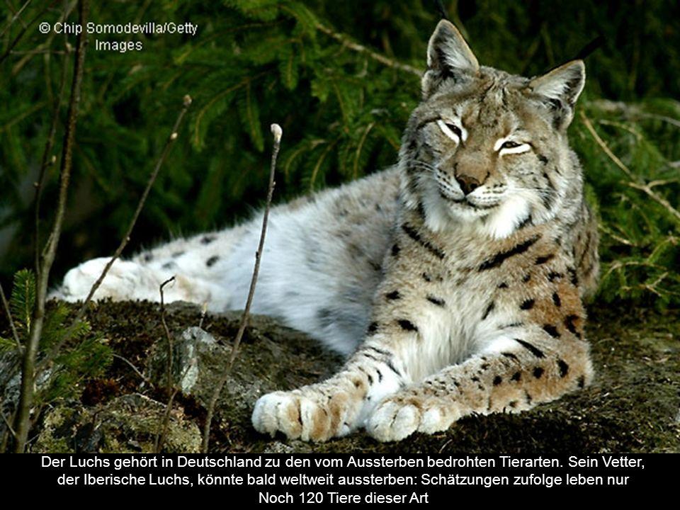 Der Luchs gehört in Deutschland zu den vom Aussterben bedrohten Tierarten. Sein Vetter,