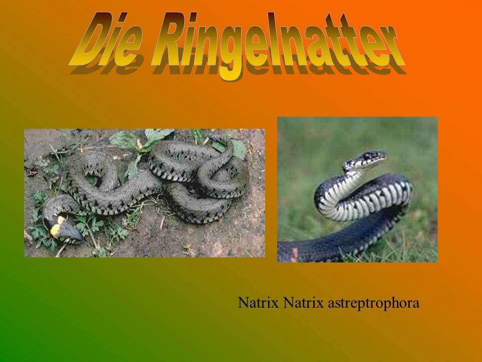 Die Ringelnatter Natrix Natrix astreptrophora