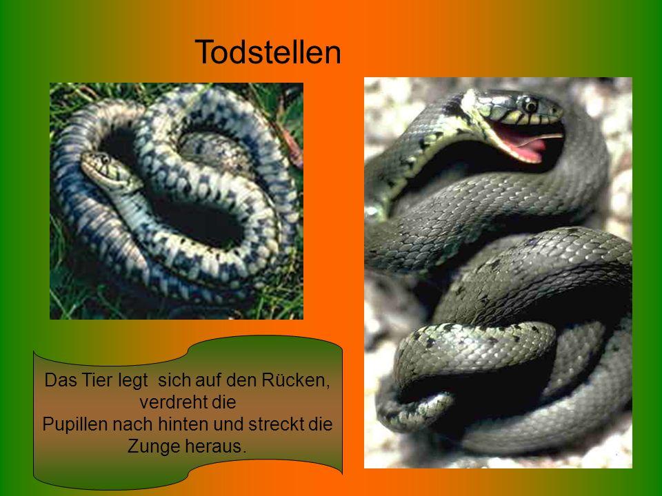 Todstellen Das Tier legt sich auf den Rücken, verdreht die Pupillen nach hinten und streckt die Zunge heraus.