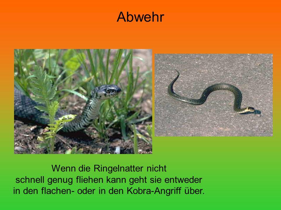Abwehr Wenn die Ringelnatter nicht schnell genug fliehen kann geht sie entweder in den flachen- oder in den Kobra-Angriff über.