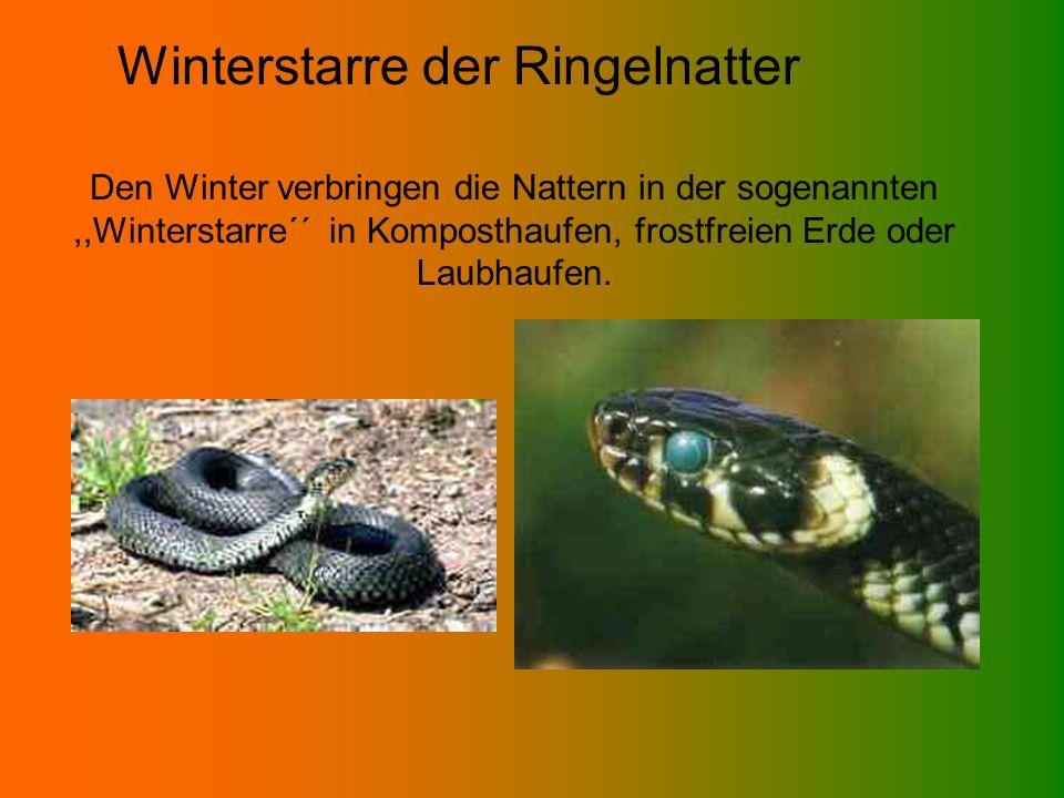 Winterstarre der Ringelnatter