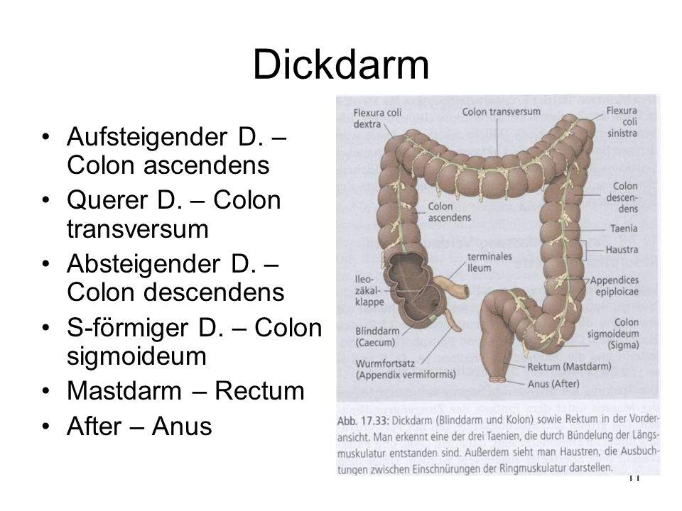 Dickdarm Aufsteigender D. – Colon ascendens