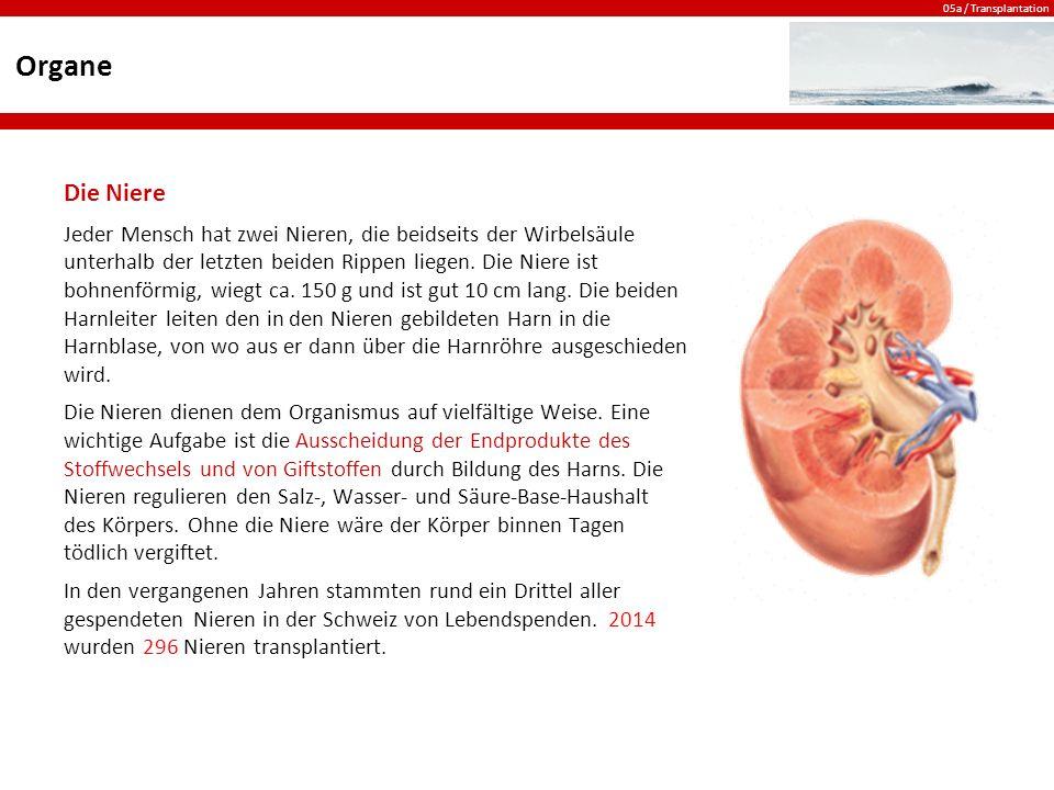 Organe Die Niere.