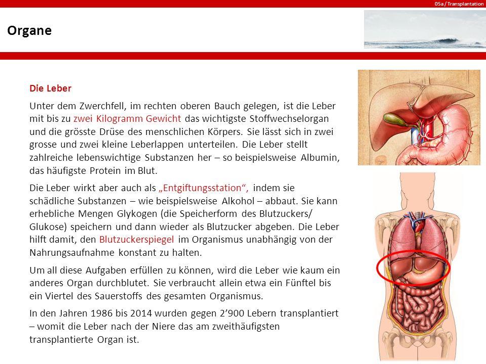 Organe Die Leber.
