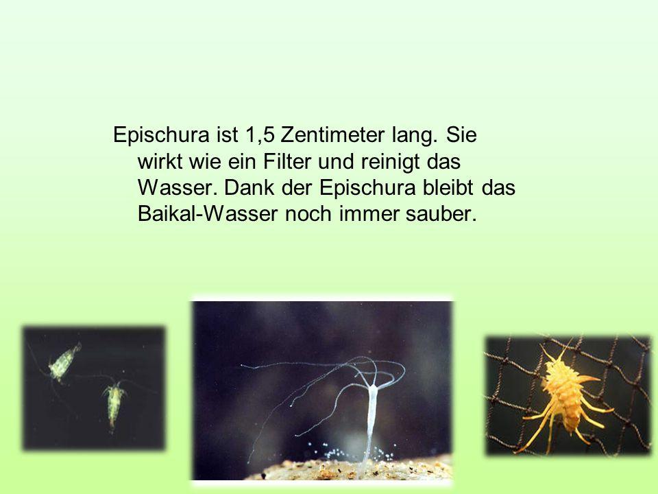 Epischura ist 1,5 Zentimeter lang