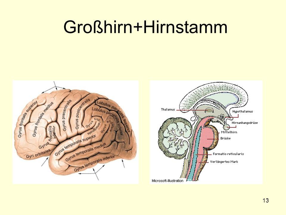 Großhirn+Hirnstamm