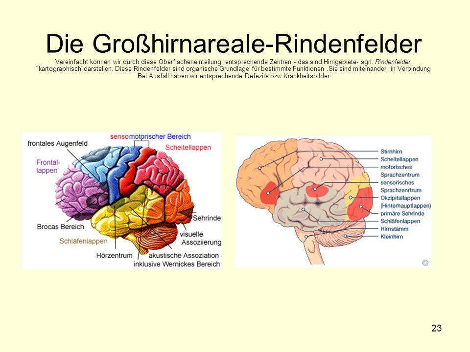 Die Großhirnareale-Rindenfelder Vereinfacht können wir durch diese Oberflächeneinteilung entsprechende Zentren - das sind Hirngebiete- sgn.