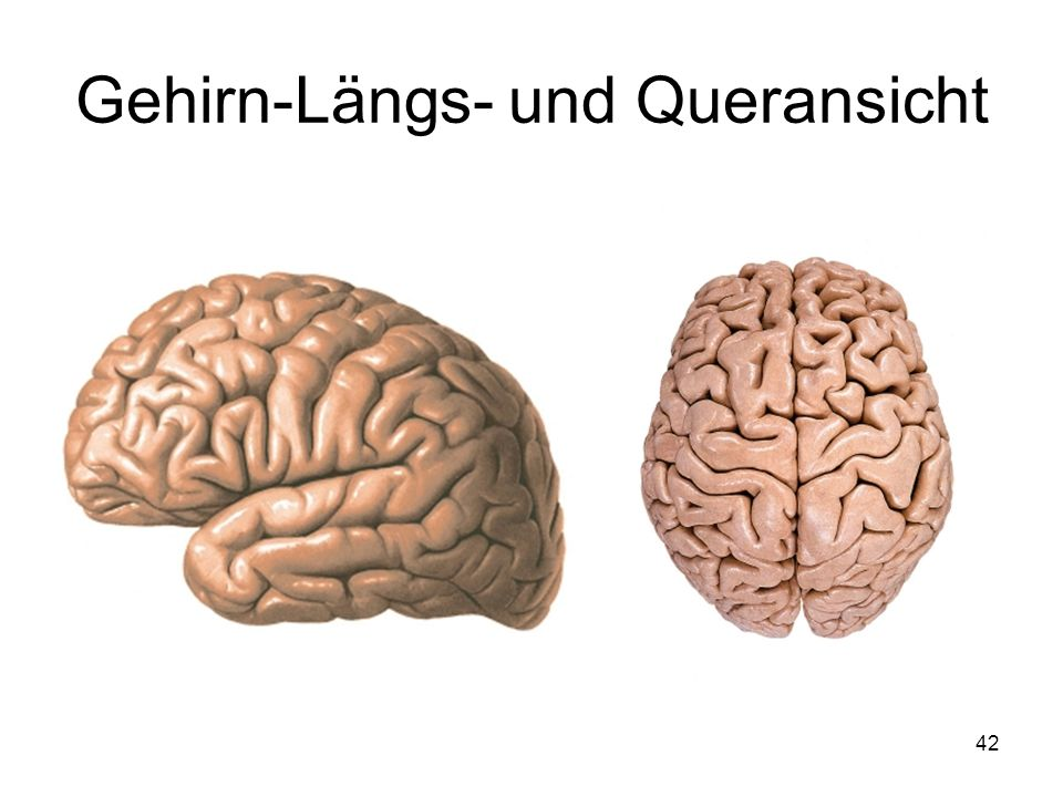 Gehirn-Längs- und Queransicht
