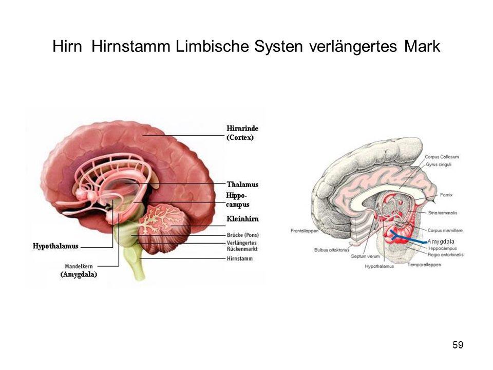 Hirn Hirnstamm Limbische Systen verlängertes Mark