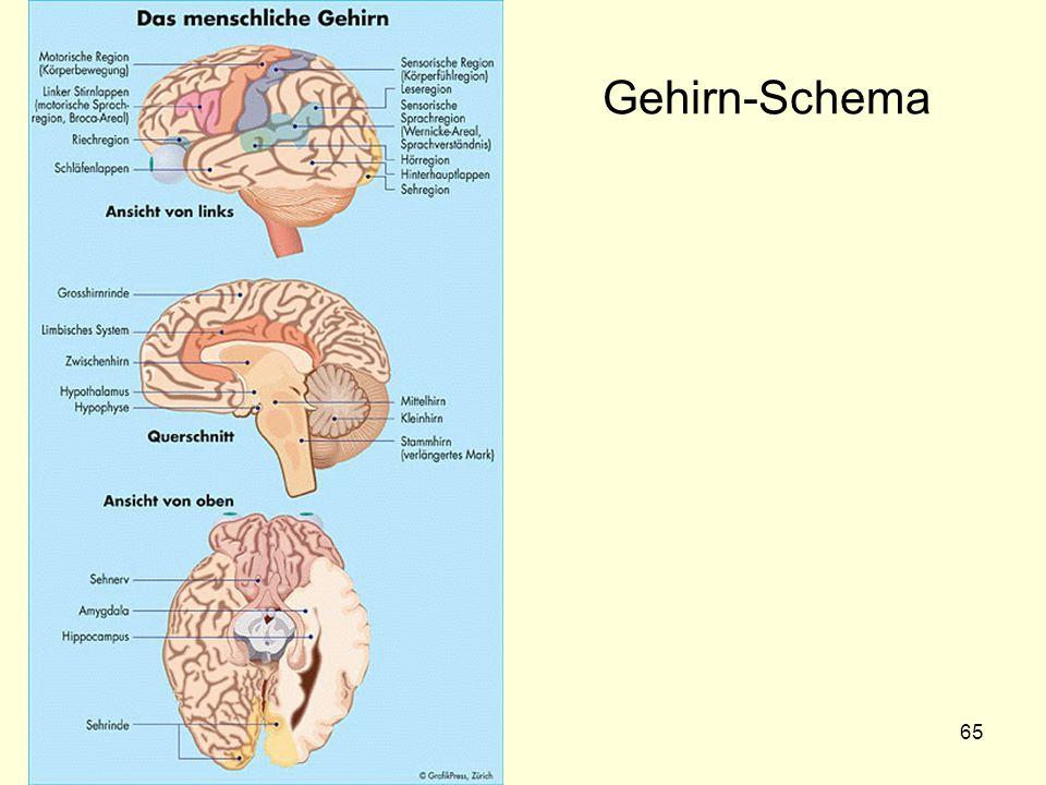 Gehirn-Schema