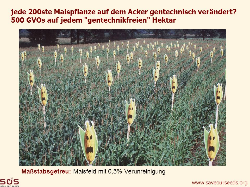 jede 200ste Maispflanze auf dem Acker gentechnisch verändert