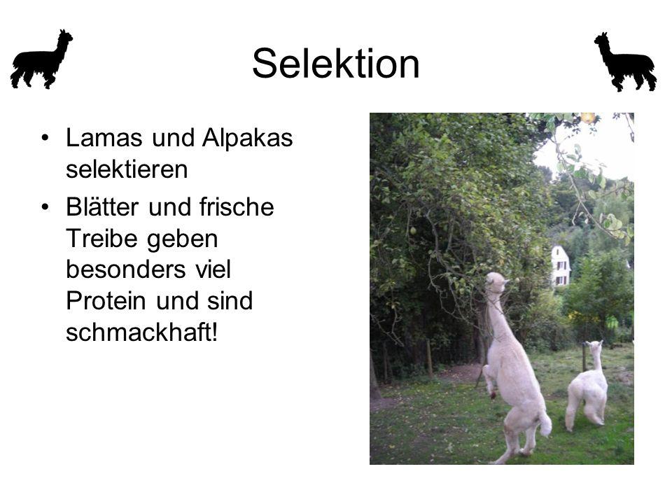 Selektion Lamas und Alpakas selektieren