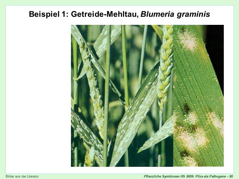 Beispiel 1: Getreide-Mehltau, Blumeria graminis
