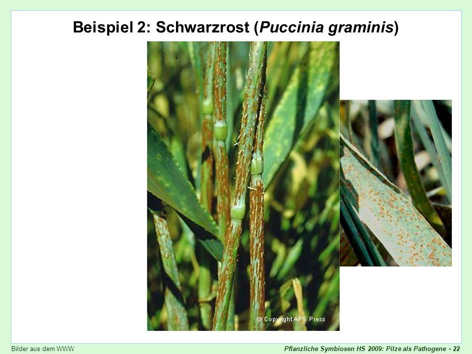 Beispiel 2: Schwarzrost (Puccinia graminis)