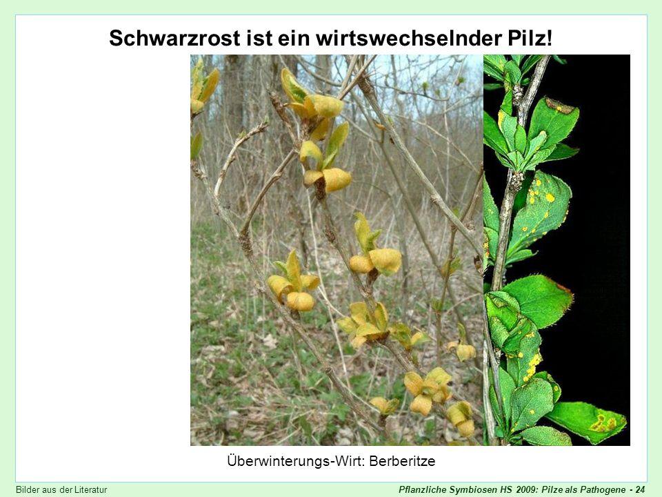 Puccinia graminis - Berberitze