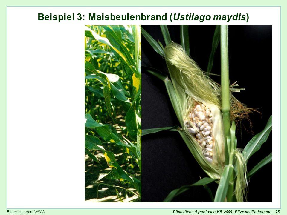 Beispiel 3: Maisbeulenbrand (Ustilago maydis)
