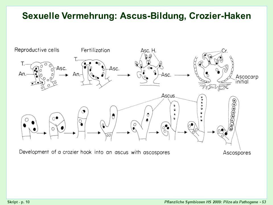 Ascomyceten: Ascus-Bildung, Crozier-Haken