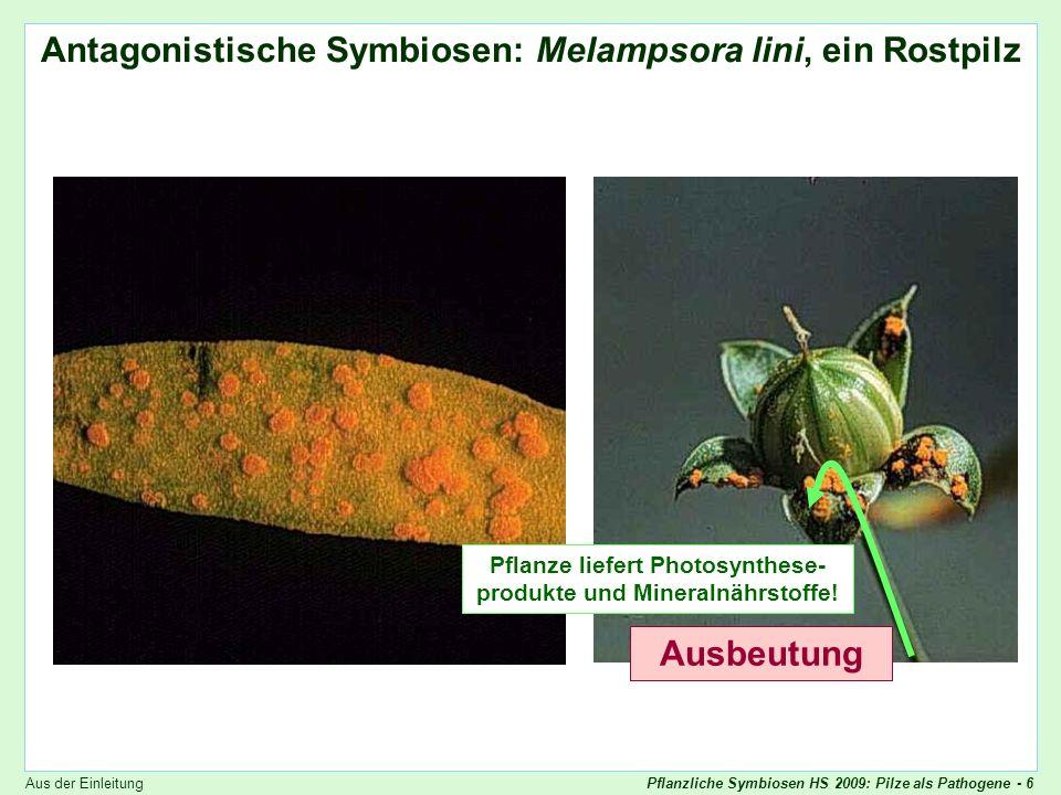 Antagonistische Symbiosen: Melampsora lini, ein Rostpilz