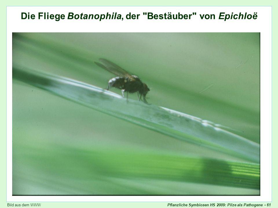 Die Fliege Botanophila, der Bestäuber von Epichloë