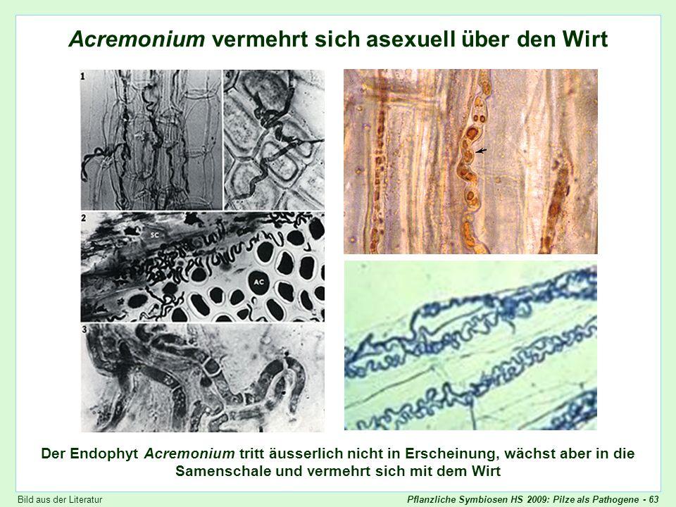 Acremonium wächst in die Samen