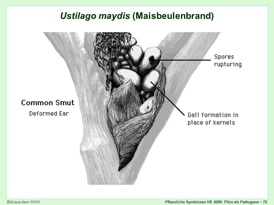 Ustilago maydis: Skizze
