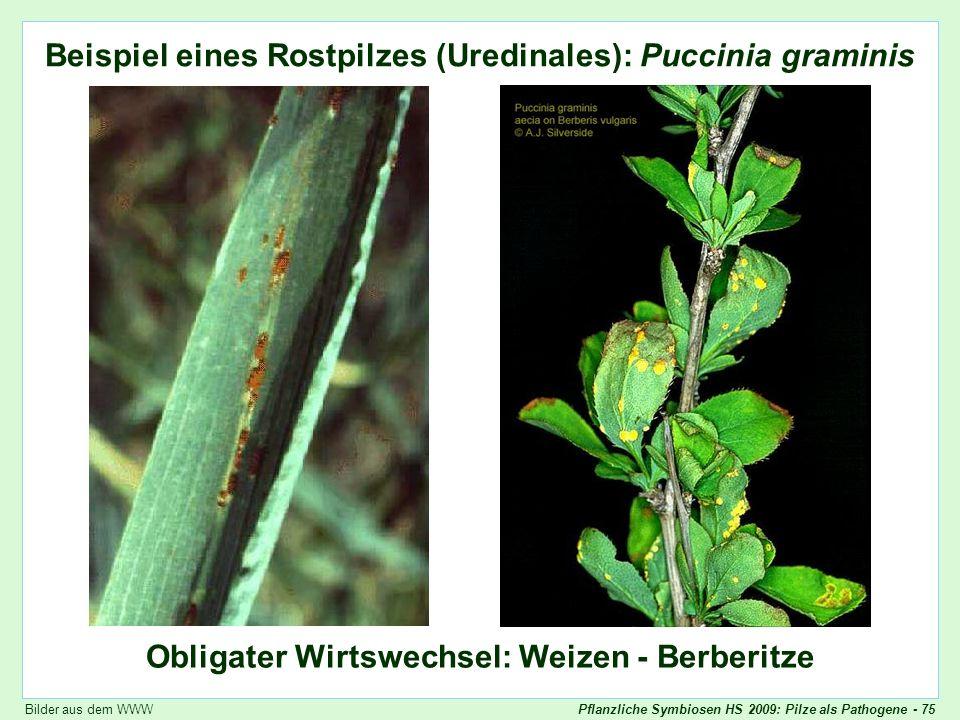 Puccinia graminis: Bilder
